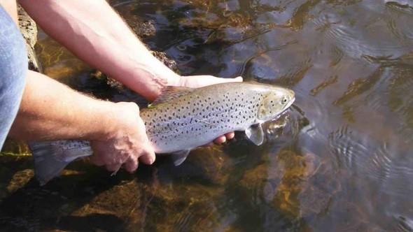 Photo of Meerforellenfischen im Bach/Fluss – 49er Meerforelle