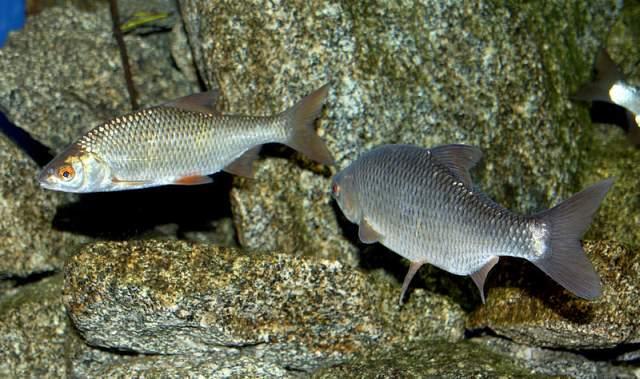 Photo of Köderfische: Topp-Köder für Hecht und Co.!