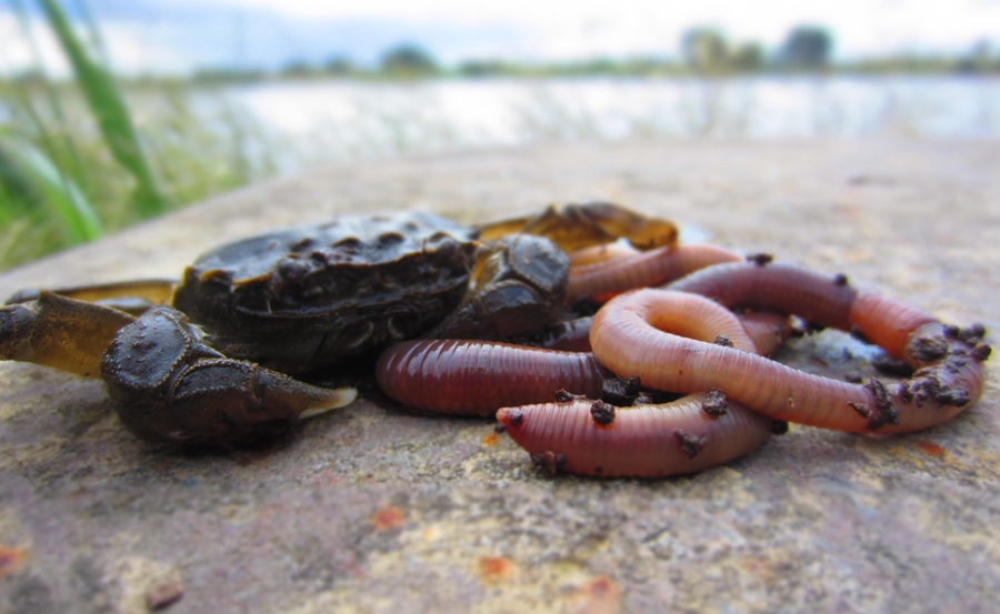 Photo of Wurm vs. Wollhandkrabbe