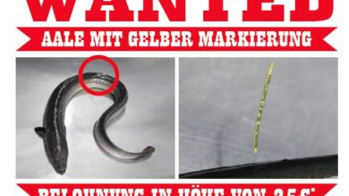 Photo of Aale mit gelber Markierung in derEms